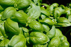 Basil. A small group of Basil plants Royalty Free Stock Photography