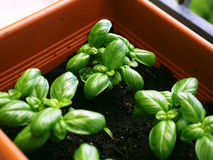 Basil small plants in a pot Royalty Free Stock Photos