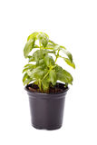 Basil in a small pot stock photography