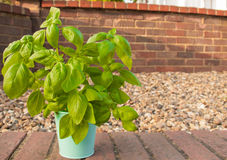 Basil in small vase Royalty Free Stock Images
