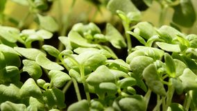Basil spice and medicinal herb stock video footage