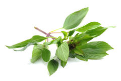 Basil sprig Royalty Free Stock Photo