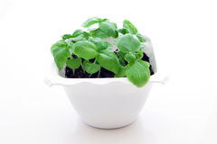 Basil sprout Royalty Free Stock Photography
