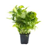 Basil sprout in flower pot. Basil. Sweet basil sprout in flower pot. Isolated on white background Royalty Free Stock Image