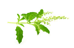 Basil stalk on a white background. Royalty Free Stock Image