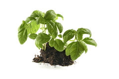 Basil still growing in a patch Stock Photos