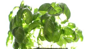 Basil And Sunblind stock video footage
