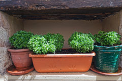 Basil in terracotta pots Stock Photo