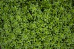 Basil texture, backgraound. Basil texture, ocimum basilicum, background royalty free stock photography