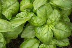 Basil texture, backgraound. Basil texture, ocimum basilicum, background royalty free stock image