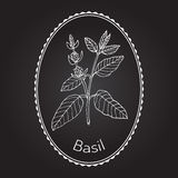 Basil. Thai , or sweet , culinary and aromatic herb. Vector illustration Stock Image
