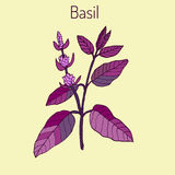 Basil. Thai , or sweet , culinary and aromatic herb. Vector illustration Stock Photo
