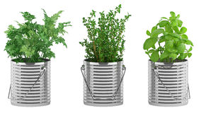 Basil, thyme, parsley in the metal flower pots Royalty Free Stock Photo