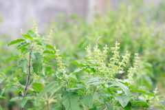 Basil Tree. For Thai food good smell Stock Photography