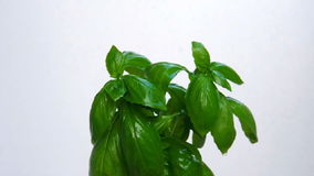 Basil tree under water drops, close up view stock footage