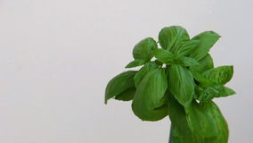 Basil tree under water drops, close up view stock video footage