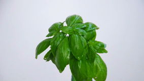 Basil tree under water drops, close up view stock video