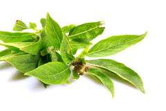 Basil tulasi leaves Stock Image