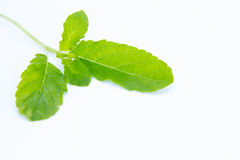 Basil or tulsi leaves Royalty Free Stock Photos