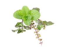 Basil (tulsi) and mint in group on isolated white Royalty Free Stock Photography