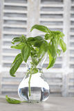 Basil in a vase royalty free stock photo