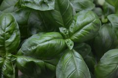 Basil, Vegetable, Leaf, Plant stock photography