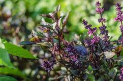 Basil, vert, pourpre, laitue, feuille, jardin, couleur, nourriture, feuilles, buisson, condiment Photo libre de droits