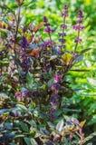 Basil, vert, pourpre, laitue, feuille, jardin, couleur, nourriture, feuilles, buisson, condiment Photographie stock