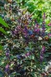 Basil, vert, pourpre, laitue, feuille, jardin, couleur, nourriture, feuilles, buisson, condiment Photos stock