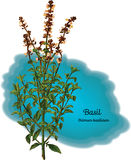 Basil Royalty Free Stock Images