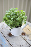 Basil in Watering Can Royalty Free Stock Photo