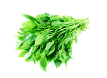 Basil on white Stock Photo