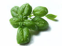 Basil on white background Stock Photography