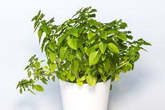 Basil in white bucket. Leaves basil in white bucket. Isolated on white background royalty free stock photography