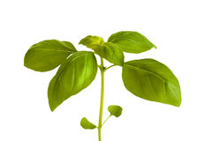 Basil on white Royalty Free Stock Photo