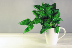 Basil in a white mug on a wooden backghround. Basil in a white cup Stock Image