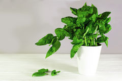 Basil in a white mug on a wooden backghround high key. Basil in a white cup Stock Photography