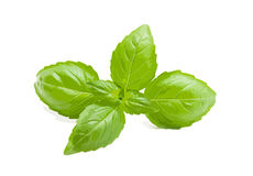 Basil. On white a vector illustration Stock Photography