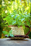 Basil in a wicker vase Royalty Free Stock Photos