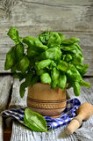Basil in wooden mortar. Stock Photo