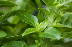 Basil. Young and fresh leaves of basil. Close up royalty free stock image