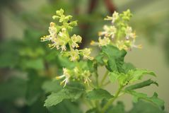 Basil z kwiatami Fotografia Stock