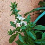 Basil z kwiatem zdjęcie stock