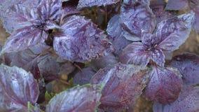 Basil z purpurami opuszcza na ogrodowym łóżku w szklarni zbiory