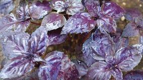 Basil z purpurami opuszcza na ogrodowym łóżku w szklarni zdjęcie wideo
