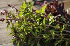 Basil zielenieje smakowity pożytecznie naturalnego Fotografia Royalty Free