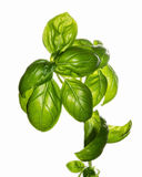 Basilia植物 库存照片