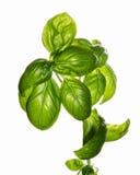 Basilia plant Stock Photo