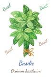 Basilic Стоковая Фотография