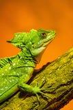 Basilic crêté vert - se reposant sur la branche Images stock